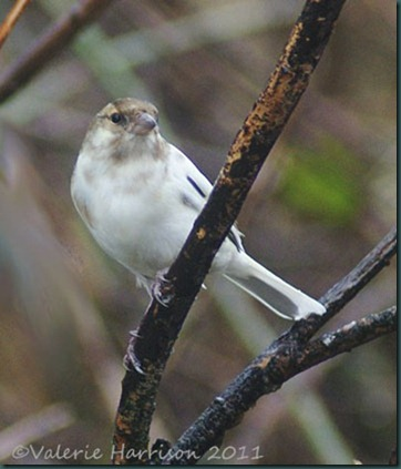 29-leucistic-chaffinch