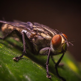 Close to a House Fly by Asrarul Islam - Novices Only Macro ( canon, bangladesh, 50mm, reverse macro, close up )