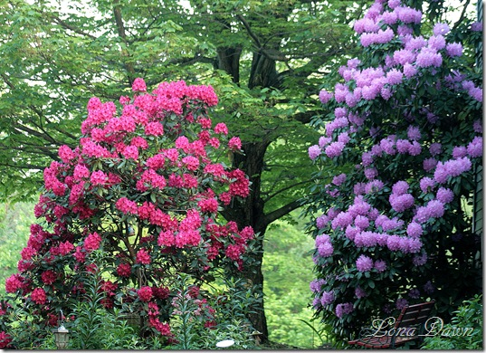 Rhododendrons_May6