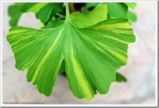 140426_Ginkgo-biloba-Sunstream_009