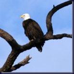 eagle150
