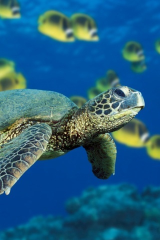 Green-sea-turtle-f