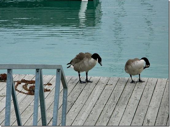 Montrose Harbor geese 3