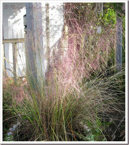 11-24-pink-muhly