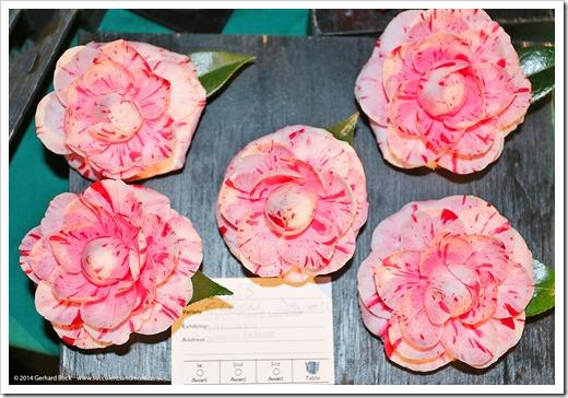 140302_Camellia_Society_Sacto_Show_030