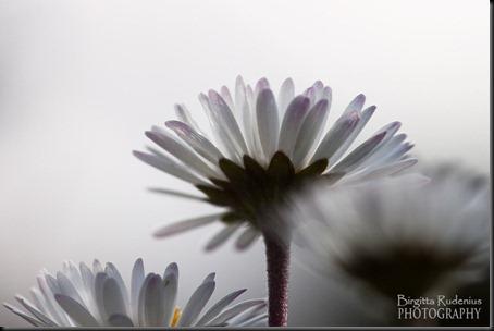 blom_20120613_daisy