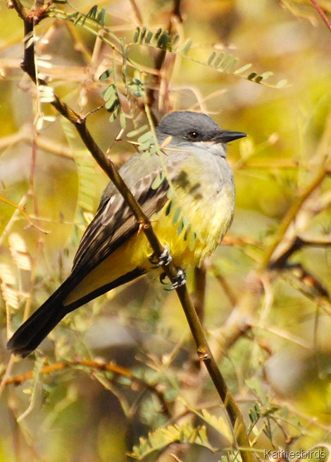 9. Reid Park Cassin's Kingbird-kab