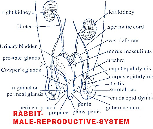 male-reproductive-system-male