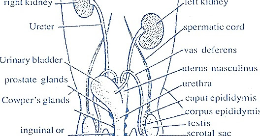 MALE REPRODUCTIVE SYSTEM OF RABBIT | BIOZOOM