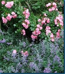 catmint with rose