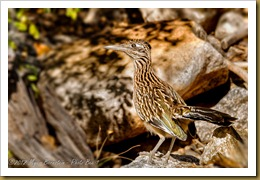 Greater Roadrunner ( Geococcyx californianus)