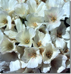 Atlasblomma - Clarkia amoena