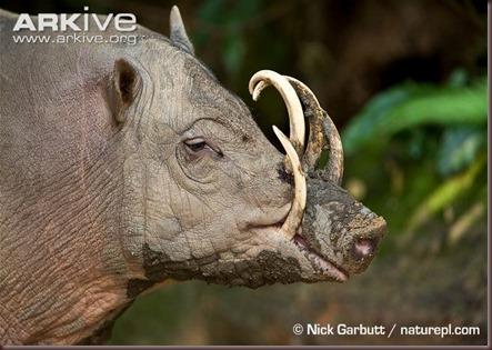 ARKive image GES061649 - Sulawesi babirusa