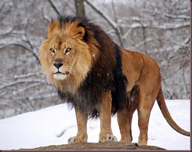 Amazing Animals Pictures Lion  (8)