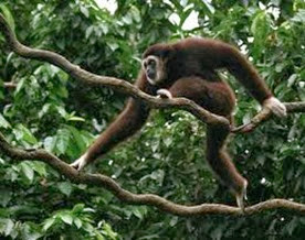 Amazing Pictures of Animals, Photo, Nature, Incredibel, Funny, Zoo, Gibbons, Hylobatidae, Primate, Mammals, Alex (8)