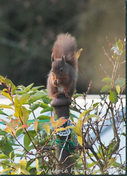 red-squirrel (5)
