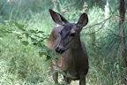 Il s'avère que Bambi a de plus grandes oreilles que dans son biopic.
