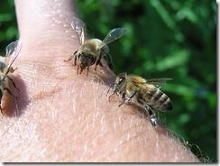 včely na květu a matečniky 135