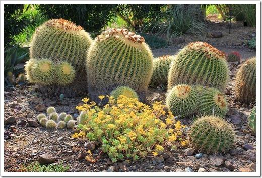 130413_RBG_Echinocactus-grusonii_02