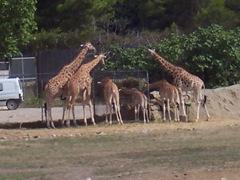 2005.08.28-004 girafes du Niger