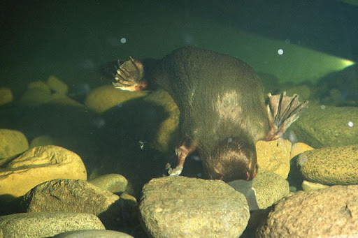 This is the platypus searching for food