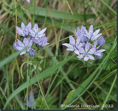 29-spring-squill