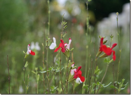 Salvia microphylla, Hot Lips salvia, Hummingbirds