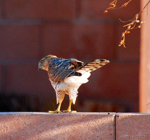 14. Cooper's hawk-kab