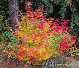 vine-maple-tree-17945579