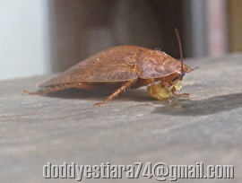 Blattella asahinai_Asian cockroach