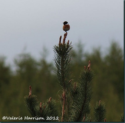 7-stonechat