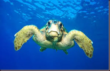 Amazing Pictures of Animals Caretta Caretta  Loggerhead sea turtle.Alex (6)