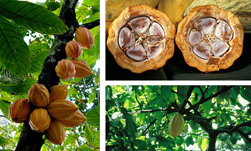 cacaocombo