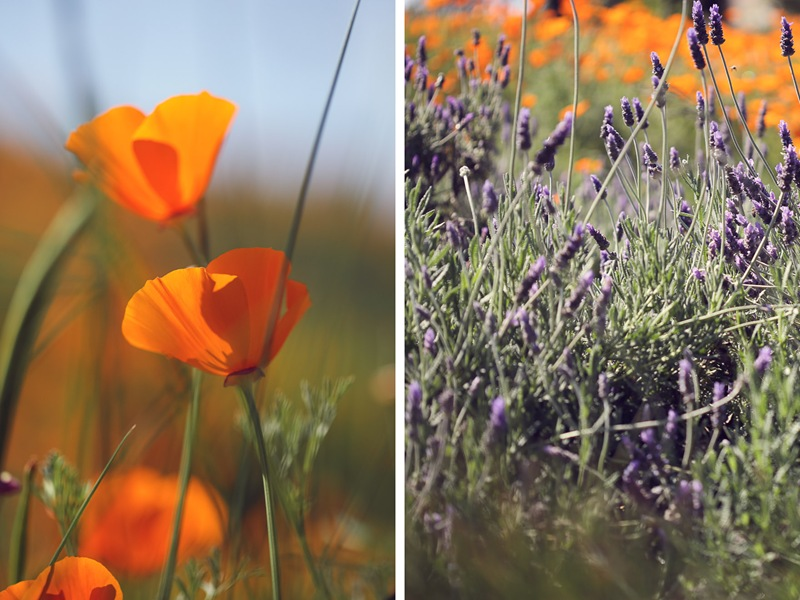 poppies plus lavender