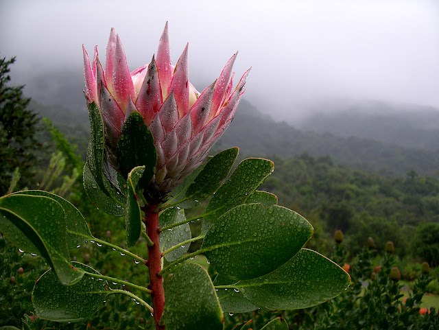 King Protea (Protea cynaroides) wet with rain on the slopes of Table Mountain, Cape Town.
