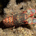 Regal Slipper Lobster - Photo (c) DavidR.808, some rights reserved (CC BY-NC-SA)