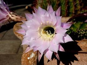 kaktus_blüte_07