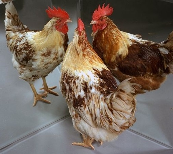 Bilateral gynandromorphism chicken-sex-cells-hybrid