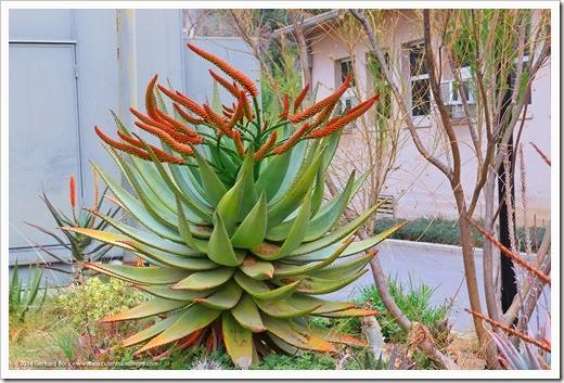 140202_UCD_Aloe-marlothii_002