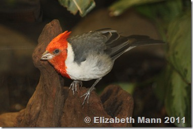 This is a Red-crested Cardinal. They live in Southeastern South America and were introduced into Hawaii. This little bird is a beautiful tropical sight!