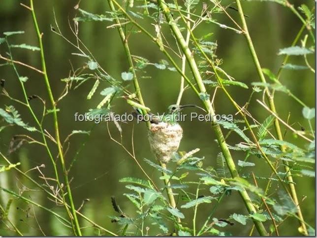 fotografado por Valdir Pedrosa - ninho de beija flor
