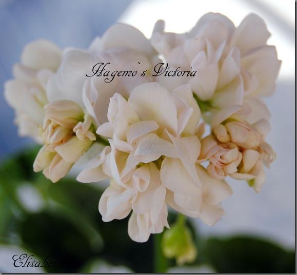 pelargonier i juni 2012 011