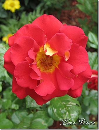 Rose_Ketchup_mustard_June