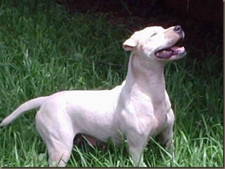dogue-brasileiro-04