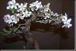 Almendro Flor 002
