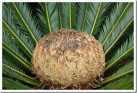 100113_Cycas_revoluta_female_cone_02
