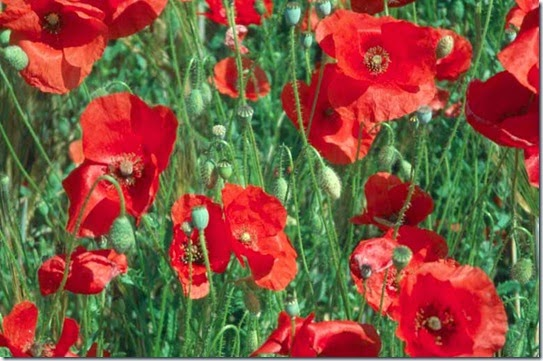 Papaver rhoeas-red