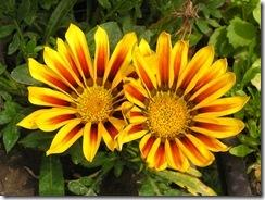 včely na květech 090