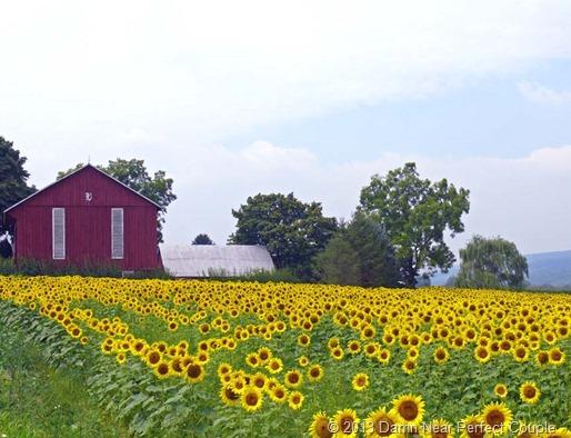 Sunflower Field1