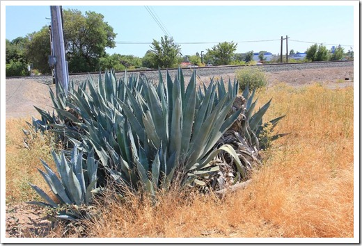 120715_apocalyptic_agave21